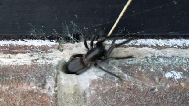 Огромный паук с зелеными челюстями напугал британца