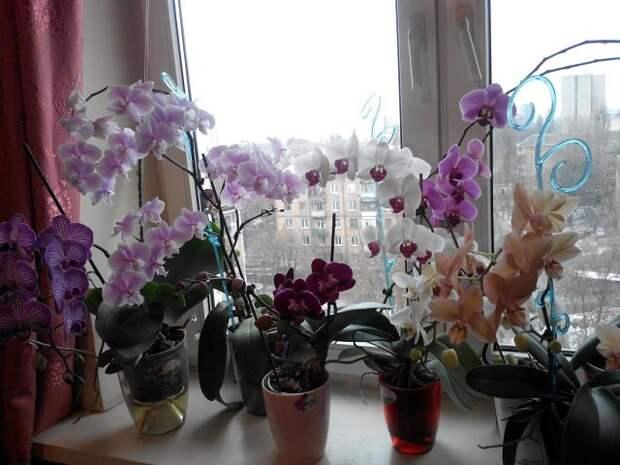 Почему нельзя держать орхидею дома