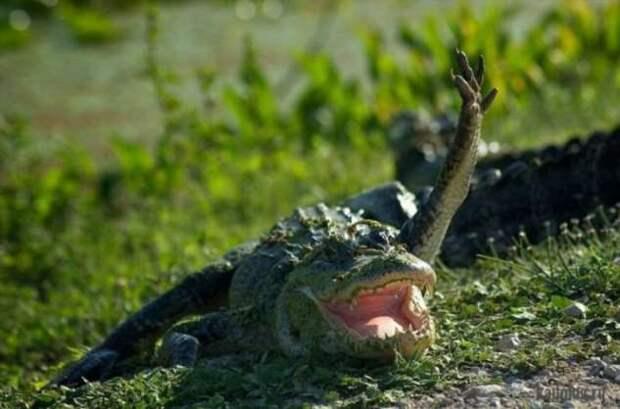Самые большие крокодилы — монстры более 6 метров в длину и весом в тонну
