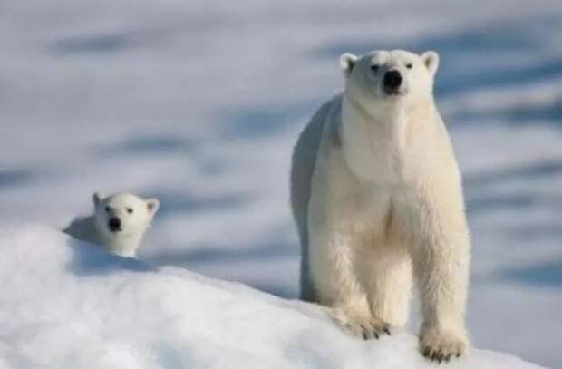 Белые медведи устроили погоню за КамАЗом