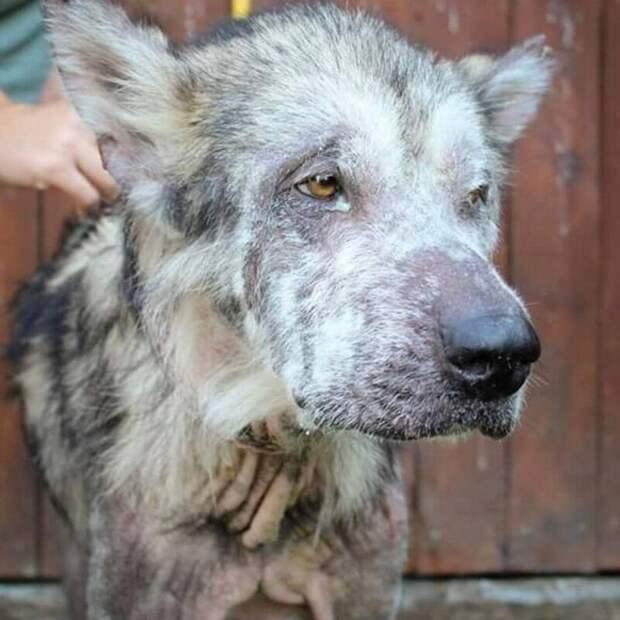 Это пёс по кличке Один. Его нашли в ужасном состоянии и забрали от бывших хозяев Любовь, в мире, добро, животные, забота, люди, собака, спасение