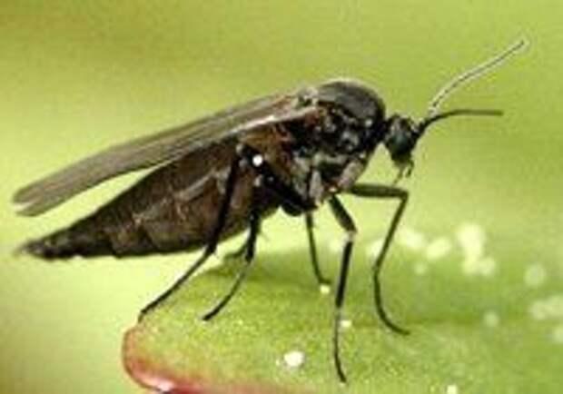 Почвенный листовой комарик