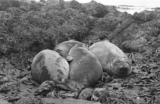 Морские слоны на пляже, о. Маккуори Австралийская антарктическая экспедиция, антарктида, исследование, мир, путешествие, фотография, экспедиция