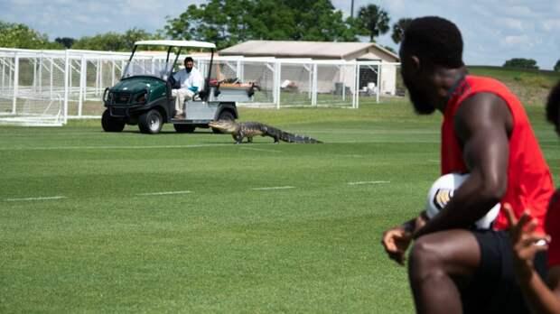 Канадский футбольный клуб подписал контракт с крокодилом