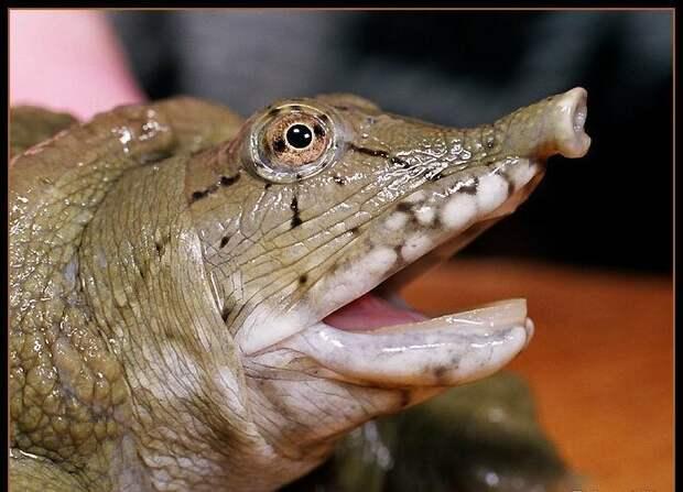 Черепаха трионикс животные, интересное, мир, носатые, природа, фауна