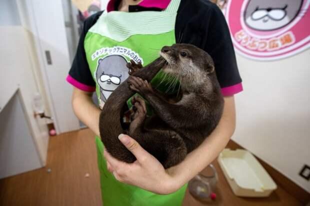 Зоозащитные организации обеспокоены содержанием выдр в японском кафе