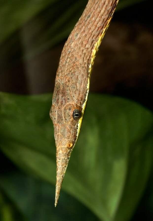Мадагаскарская листоносая змея животные, интересное, мир, носатые, природа, фауна