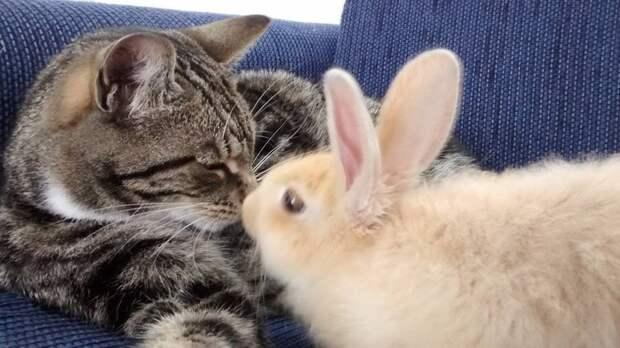 Эта кошка обожает ухаживать за кроликом