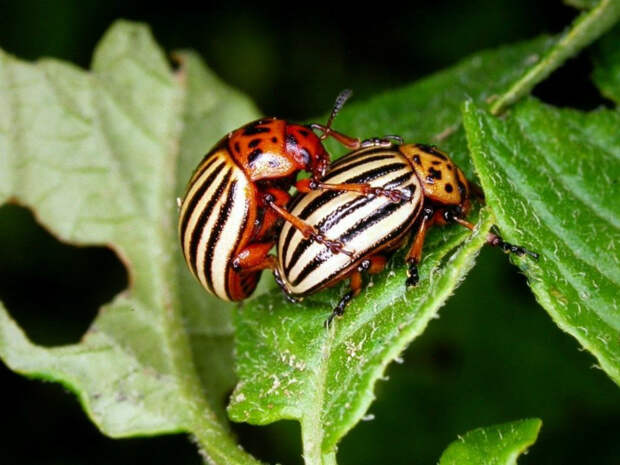 Борьба с колорадскими жуками. | Фото: Pinterest.