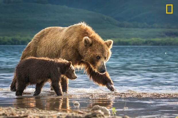 """Медведица и медвежонок. По словам фотографа Анат Гутман, """"трехмесячный медвежонок был таким милым, что хотелось подбежать к нему и обнять. Если бы не настороженный взгляд его матери"""" national geographic, дикая природа, лучшие фотографии, фотографии природы, фотоконкурс, фотоконкурсы. природа"""
