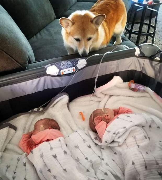 Когда беременной девушке стало плохо ночью, её пёс был рядом. А теперь он не спускает глаз с новорожденных девочек