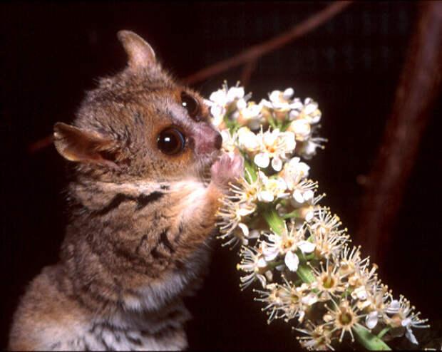 Мышиный лемур. животные, интересное, мадагаскар, факты, эндемики мадагаскара
