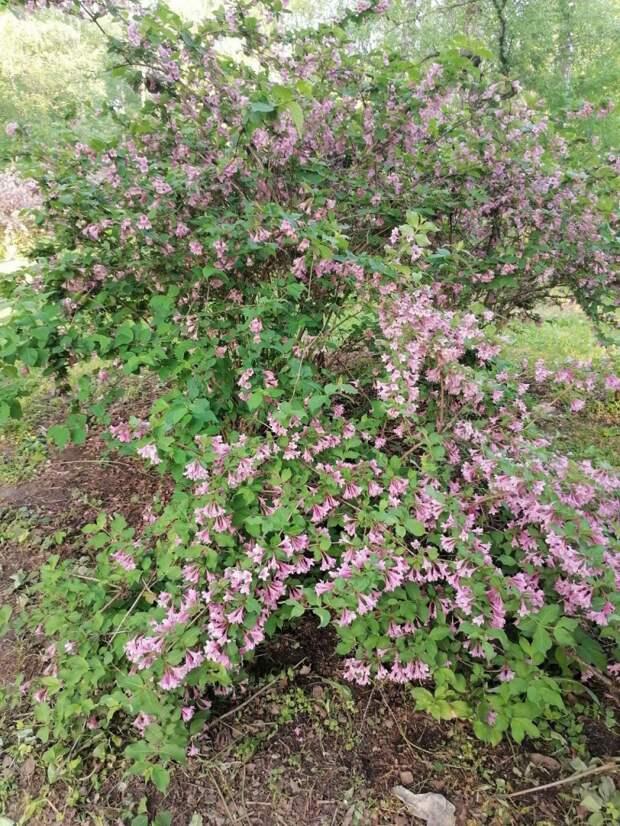 Фото дня: в Ботаническом саду расцвела вейгела