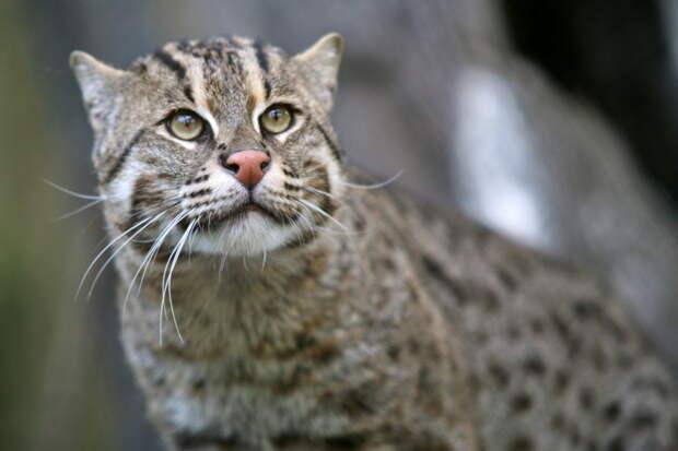Кот-рыболов дикие кошки, животные, кошки, природа