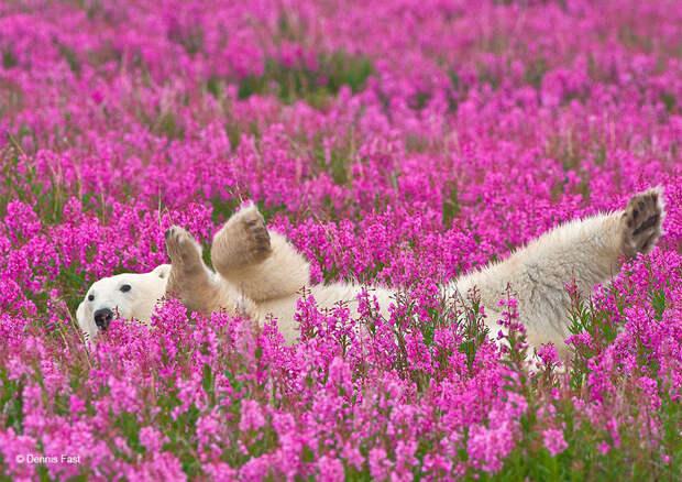 Денис Фаст сфотографировал, как полярные медведи резвятся в цветочном поле-22