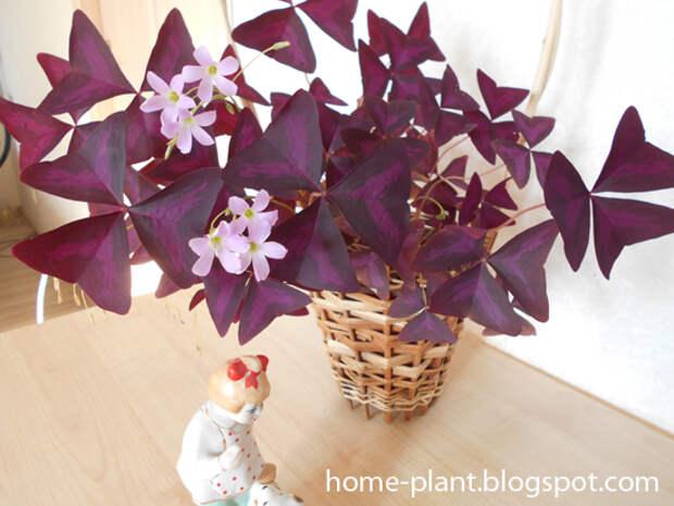 Цветок бабочка кислица (Oxalis): уход за цветком счастья и любви