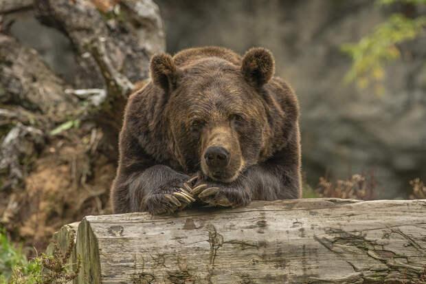 Таёжный рэкет: в Приангарье молодой медведь вымогает еду на трассе