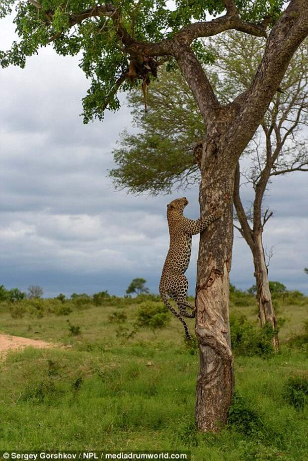 The leopard starts scaling the tree