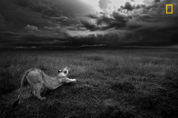 Потягивания львицы. Заповедник Масаи-Мара, Кения national geographic, дикая природа, лучшие фотографии, фотографии природы, фотоконкурс, фотоконкурсы. природа