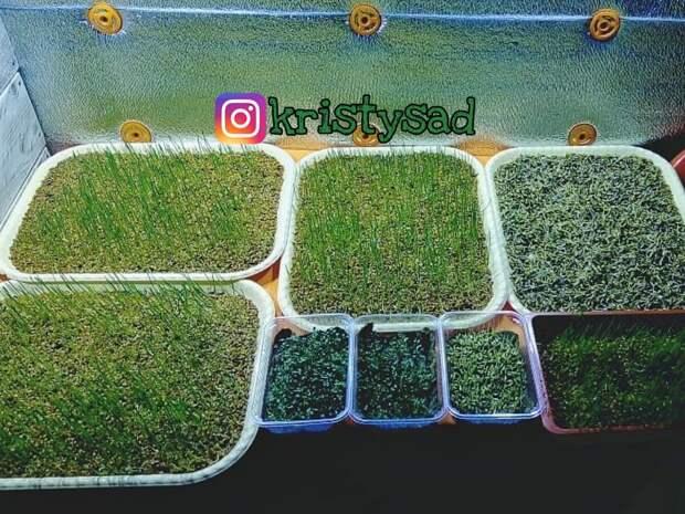 Где взять семена для выращивания микрозелени