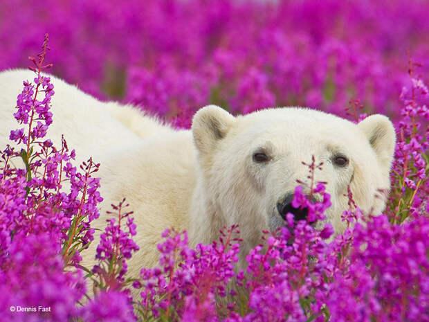 Денис Фаст сфотографировал, как полярные медведи резвятся в цветочном поле-23