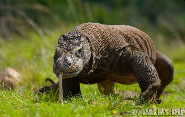 10 самых опасных животных мира: варан, бегемот, гребнистый крокодил и другие. Какая в них угроза? (ВИДЕО)