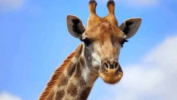 Жизнь жирафа — ежедневный ад и все из-за длинной шеи