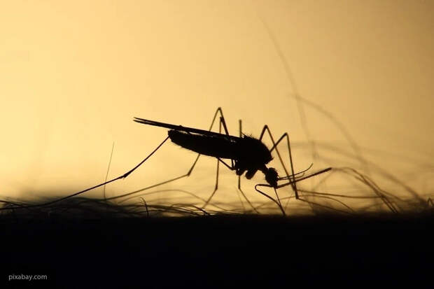 Иммунолог рассказал о рисках передачи коронавируса от кошки и комара