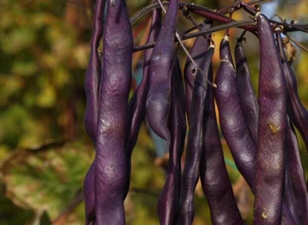 Фиолетовая спаржевая фасоль