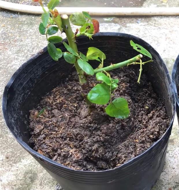 Размножение роз по-новому