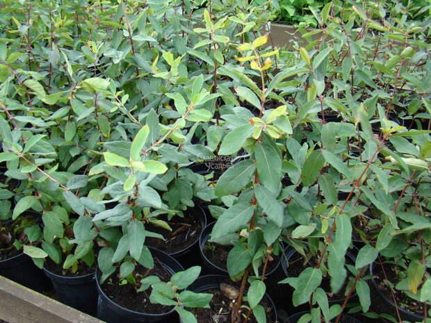 Саженцы жимолости станут интересной покупкой для любого сада