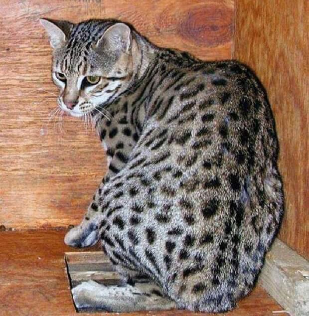 10 самых дорогих и редких кошек в мире!