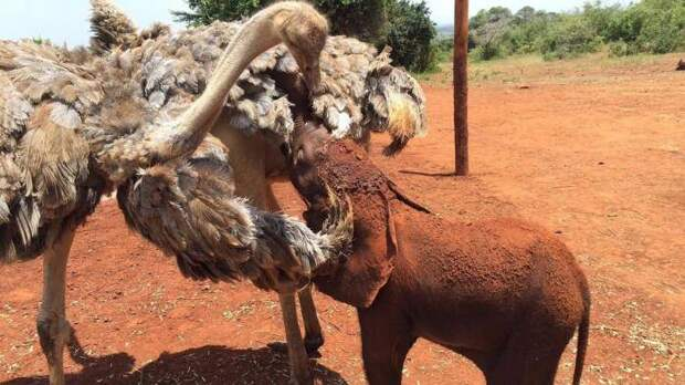 Потерявший маму слоненок, каждый день обнимает страуса