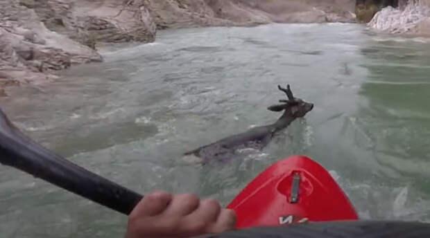 Мужчина сплавлялся на каяке и увидел, как бурный поток несет оленя. Недолго думая, он пришел на помощь