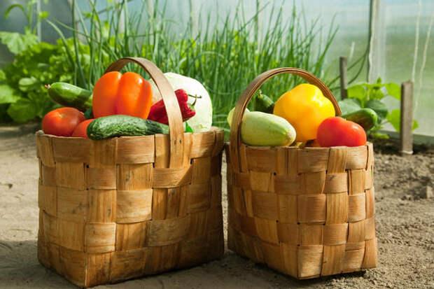 Урожайность овощных культур — величина переменная