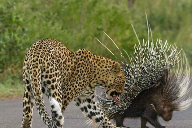 Самоуверенный леопард решил закусить дикобразом и пожалел об этом на всю жизнь