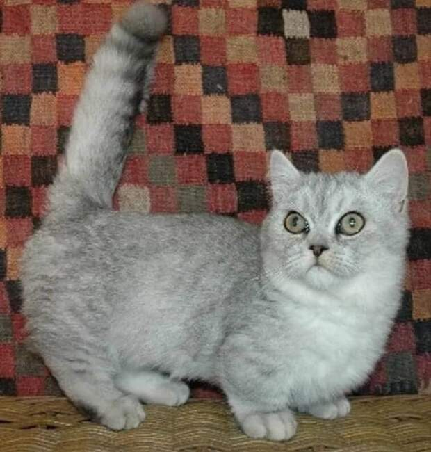 Котёнок породы наполеон, оказался в моём доме необычным образом. Его мне подарила цыганка на счастье