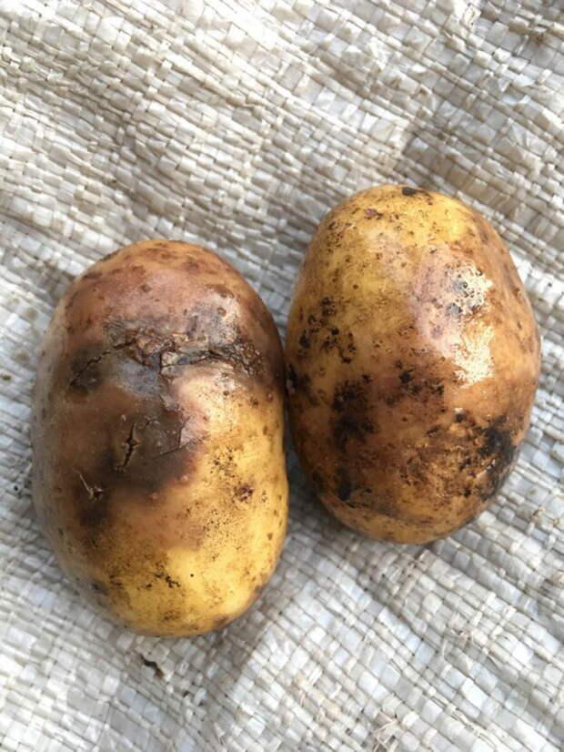 Так выглядит зараженный картофель.