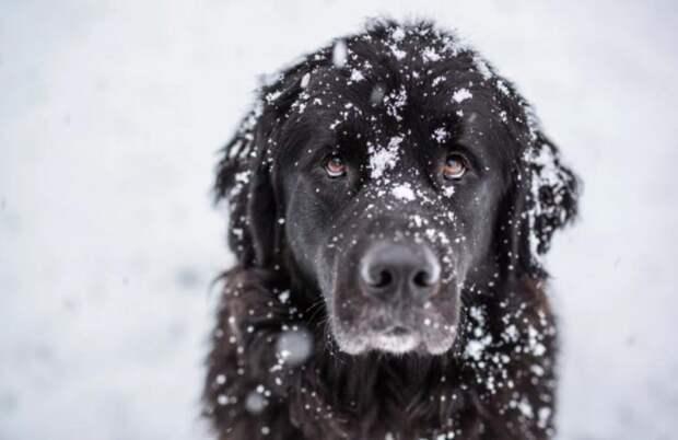 Собака тащила хозяина 5 километров за веревку, чтобы тот не замерз