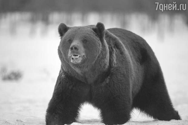 Жених или враг: к чему снится медведь