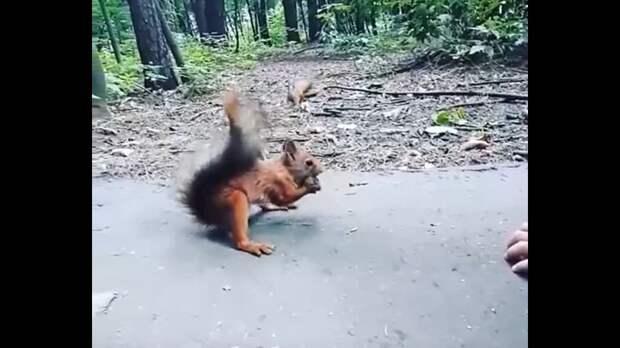 Видео: белки играют в догонялки в Щукинском лесопарке