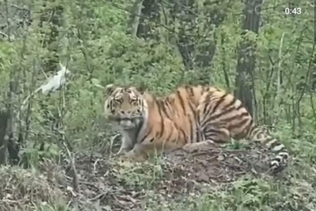 Какой красавец: амурского тигра засняли на видео водители