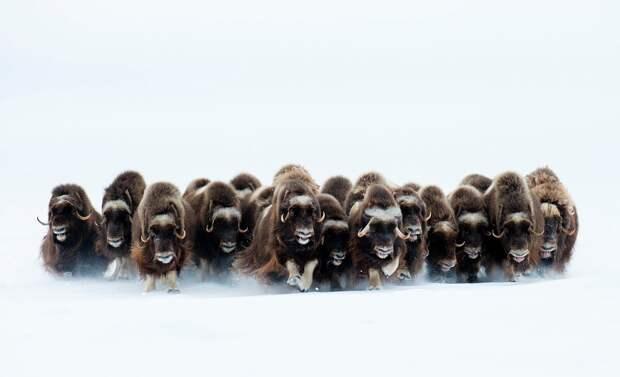 Овцебыки обитают на Ямале, Таймыре, в Якутии, острове Врангеля и на Чукотке. Они хорошо переносят любые морозы и могут добывать корм из-под рыхлого снега глубиной до 40-50 см © Эрик Пьер
