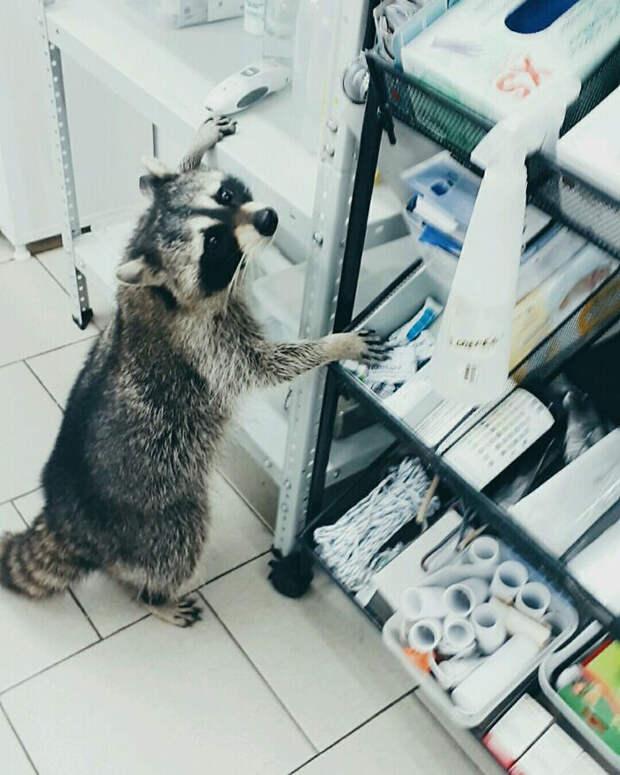 В ростовской ветклинике врачу помогает енот Еша