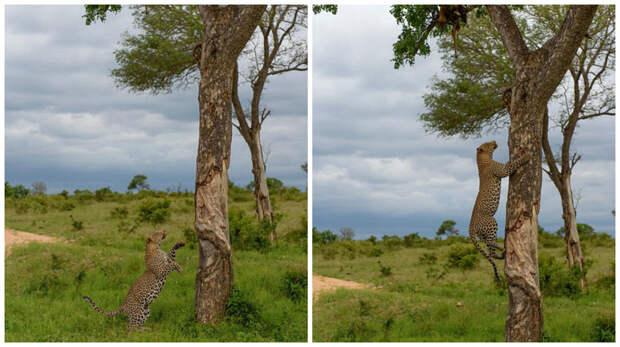 Леопард-каннибал увидел на дереве тушу своего сородича и быстро взобрался за ней животные, каннибал, леопард