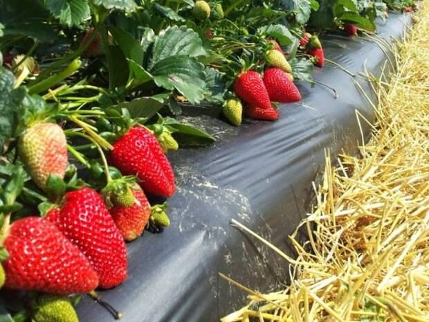 Маленькие секреты по выращиванию клубники
