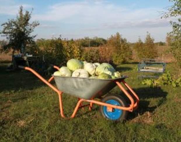 ru.depositphotos.com/zatvornik71: Сбор урожая капусты