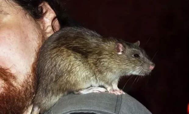 Шахтер подкармливал крысу