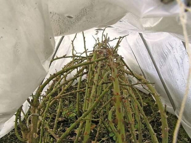 Укрытие роз на зиму спанбондом
