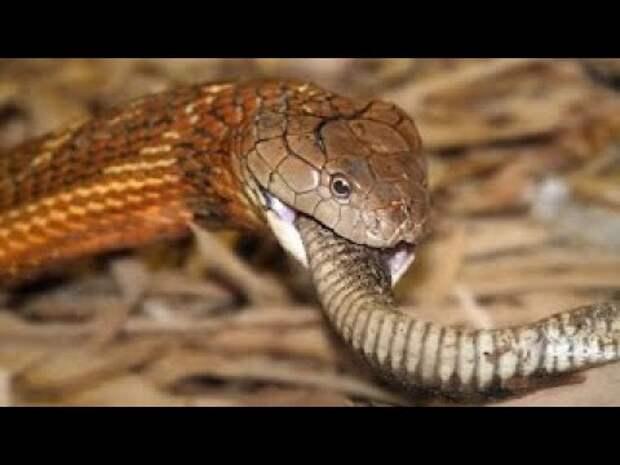 Королевская кобра: Враг среди своих. Королева смерти уничтожает остальных змей